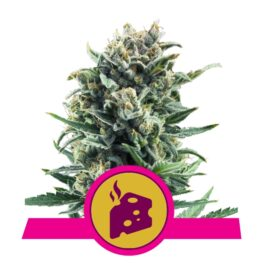 Blue Cheese Feminized Cannabis Seeds from Royal Queen Seeds