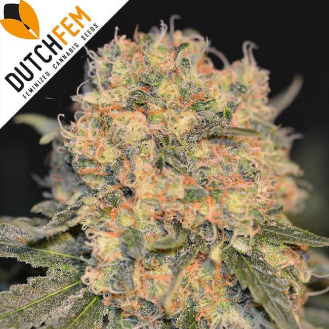 Casey's Rollex O.G. Cannabis Seeds