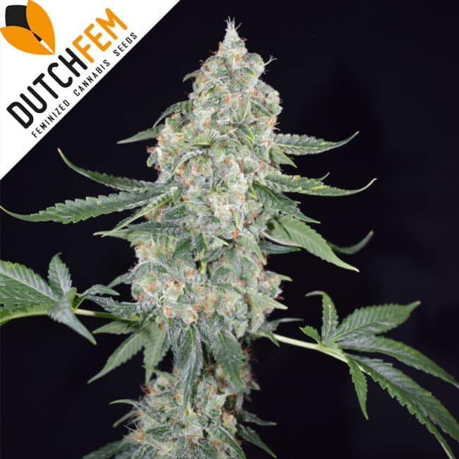 Girl Scout Kush Cannabis Seeds