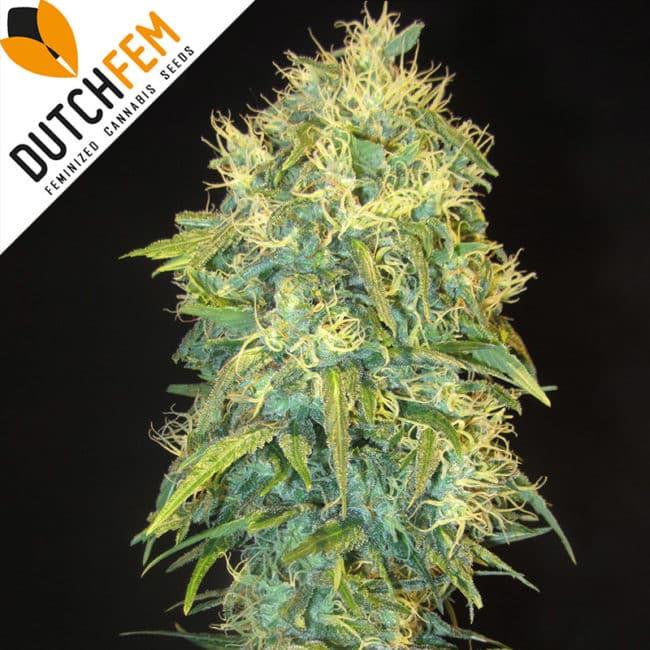 La Medica Blanca Cannabis Seeds