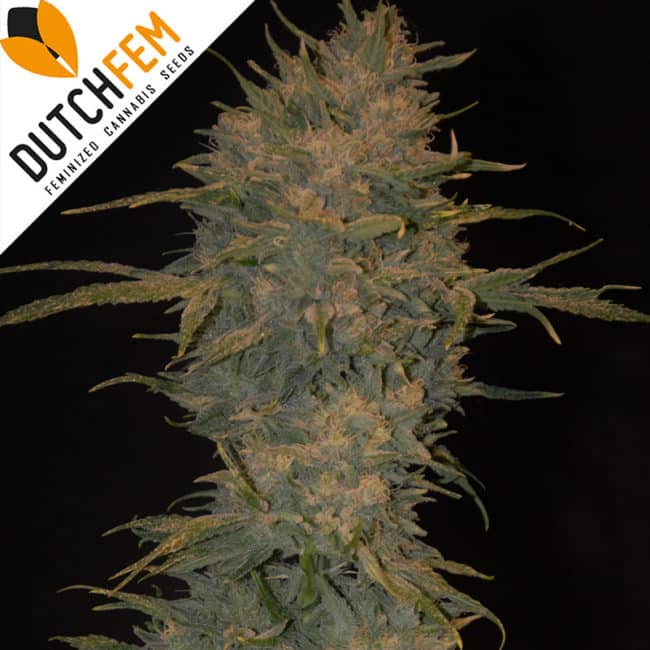 Northern Light Autoflowering Cannabis Seeds
