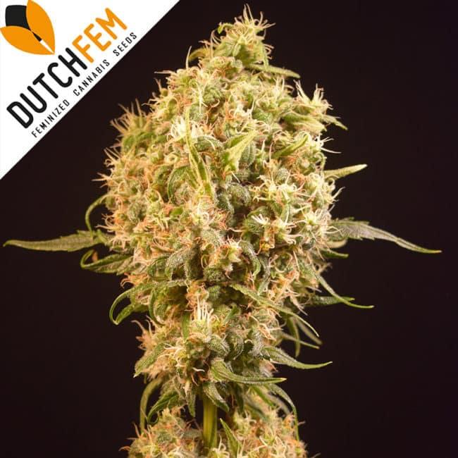 Orange Jones Cannabis Seeds