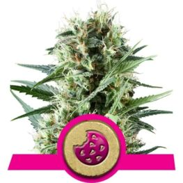 Royal Cookies Feminized Cannabis Seeds
