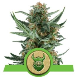 Royal Dwarf Autoflowering Cannabis Seeds
