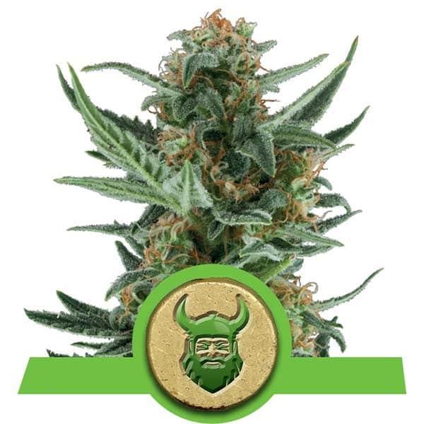 Royal Dwarf Autoflowering Cannabis Seeds