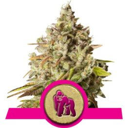 Royal Gorilla Feminized Cannabis Seeds