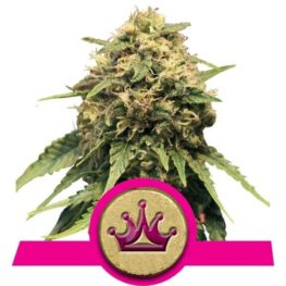Special Queen 1 Cannabis Seeds