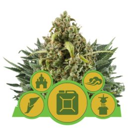 Buy Autoflowering Mix Cannabis Seeds from Royal Queen Seeds online at HollandsHigh