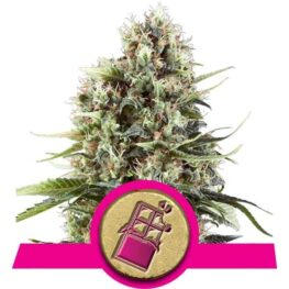 Buy Chocolate Haze Feminized Cannabis Seeds from Royal Queen Seeds