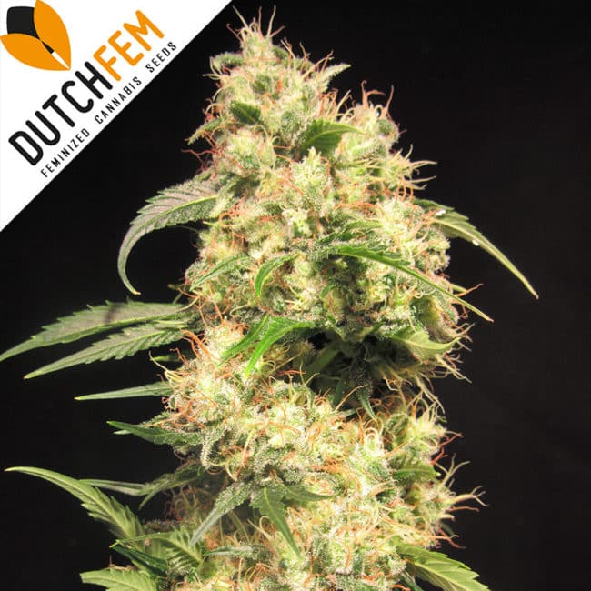 Doctor Diesel Cannabis Seeds