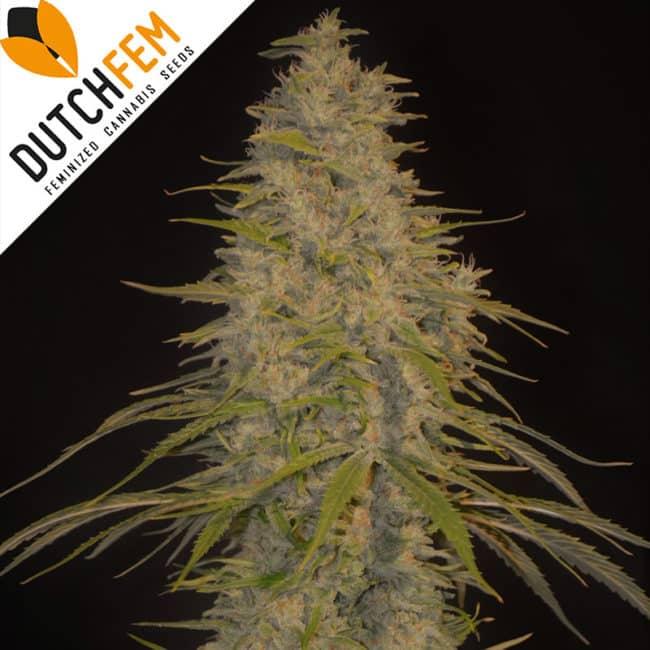 Dutchfem Special Cannabis Seeds