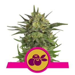 Haze Berry Feminized Cannabis Seeds