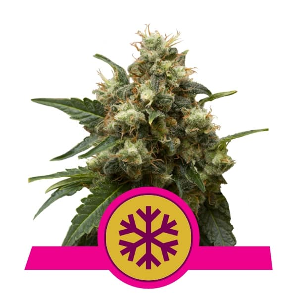 Indica Crystal Extreme! Buy Ice Feminized Cannabis Seeds from Royal Queen Seeds online at HollandsHigh! Fast & Discrete worldwide shipping!