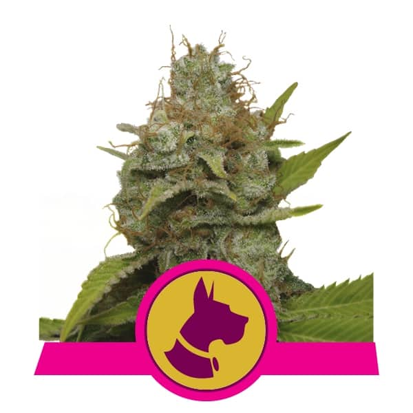Buy Kali Dog Feminized Cannabis Seeds from Royal Queen Seeds online at HollandsHigh! Fast & Discrete worldwide shipping!