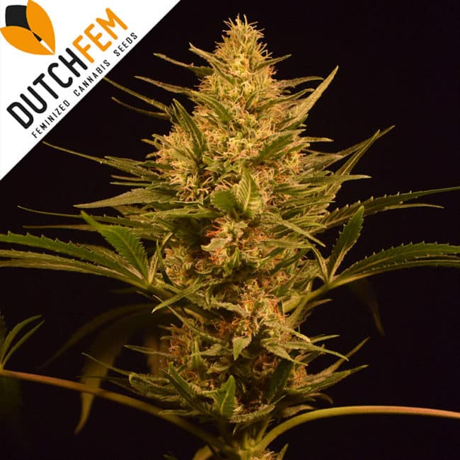 Medical Sativa Cannabis Seeds