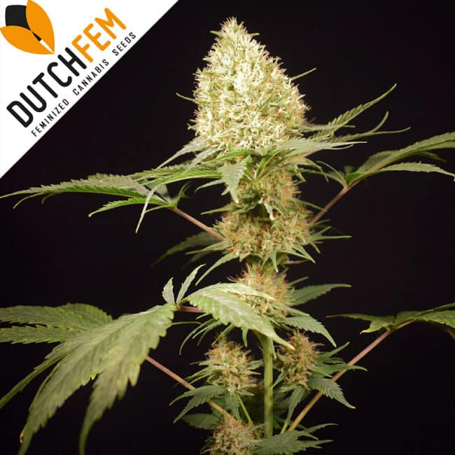Northern Light Special Cannabis Seeds