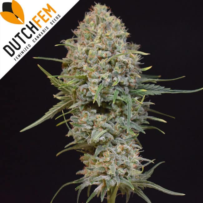 Orange Dream Cannabis Seeds