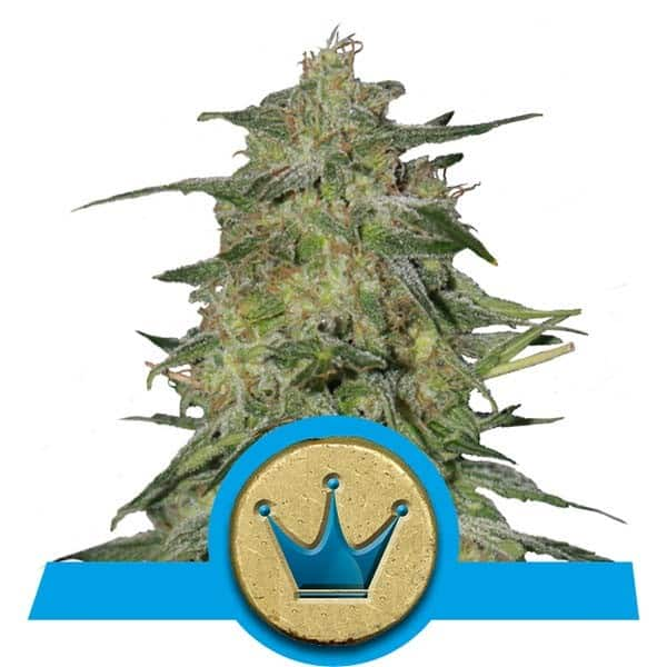 Royal Highness Cannabis Seeds