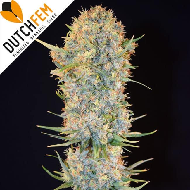 Mad Max Cannabis Seeds