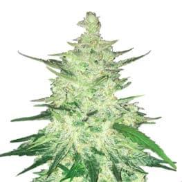 CBD Crack Automatic Cannabis Seeds