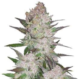 Cream Cookies Cannabis Seeds