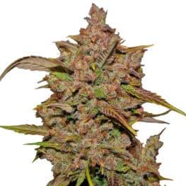 Crystal Meth Automatic Cannabis Seeds