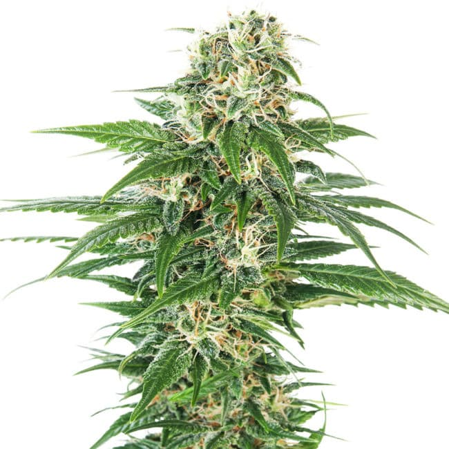 Early Skunk Automatic Cannabis Seeds