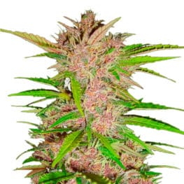 Fastberry Automatic Cannabis Seeds