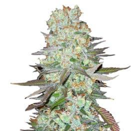 G14 Automatic Cannabis Seeds