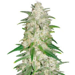 Gelato Automatic Cannabis Seeds