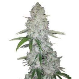 Gorilla Glue Automatic Cannabis Seeds