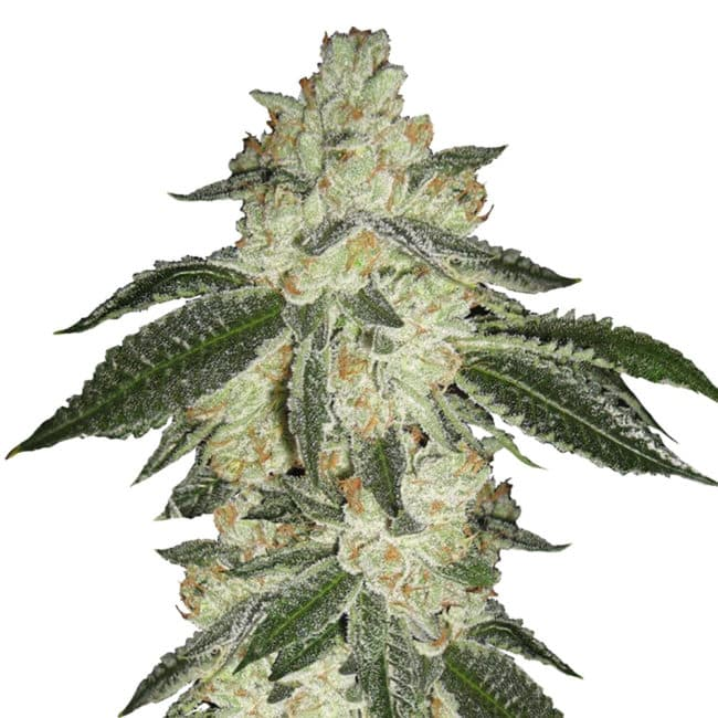 Green Crack Automatic Cannabis Seeds