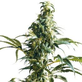 Mexican Sativa Cannabis Seeds