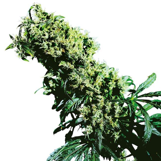 Northern Lights Haze Cannabis Seeds