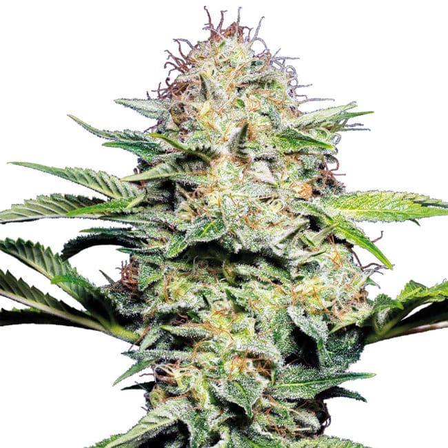 Sensi Skunk Automatic Cannabis Seeds