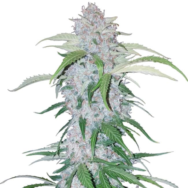 Six Shooter Automatic Cannabis Seeds