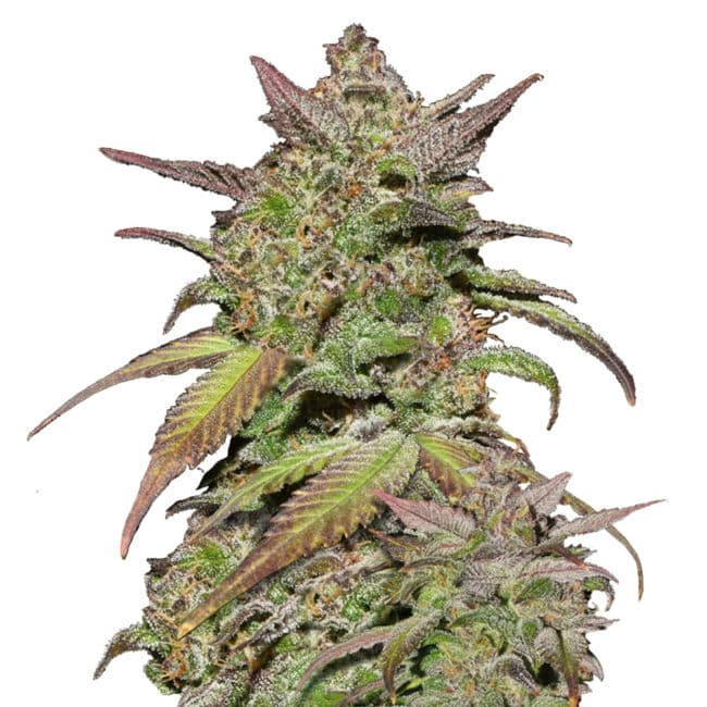 Smoothie Automatic Cannabis Seeds