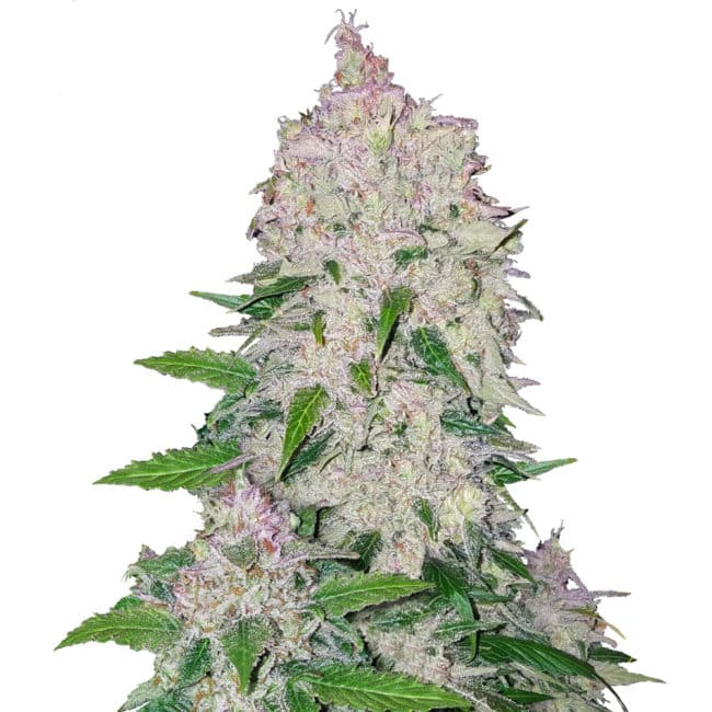 Stardawg Automatic Cannabis Seeds