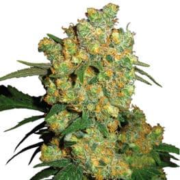 Big Bud Cannabis Seeds