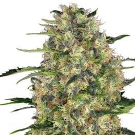 Black Domina Cannabis Seeds