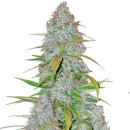 Californian Snow Cannabis Seeds