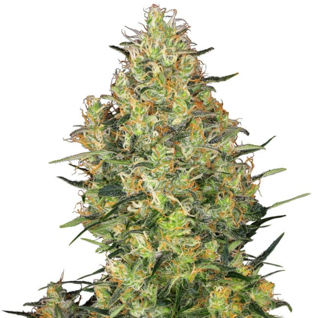 Shiva Skunk Cannabis Seeds