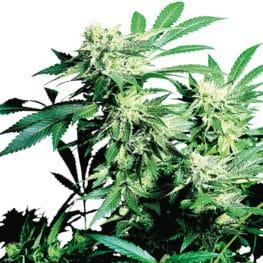 Skunk Kush Cannabis Seeds