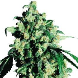 Super Skunk Cannabis Seeds