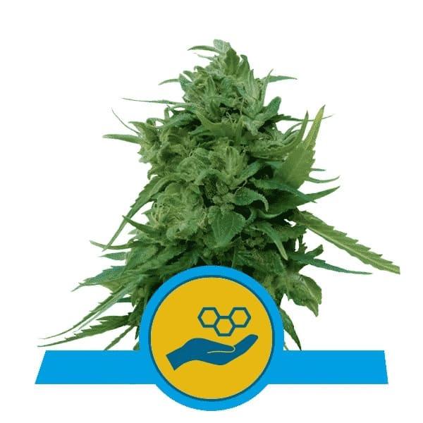 Solomatic Feminized Cannabis Seeds
