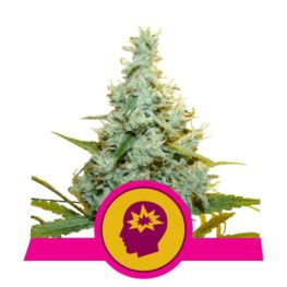 AMG Feminized Cannabis Seeds from Royal Queen Seeds