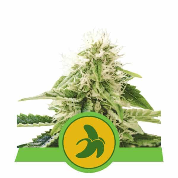 Fat Banana Auto Cannabis Seeds