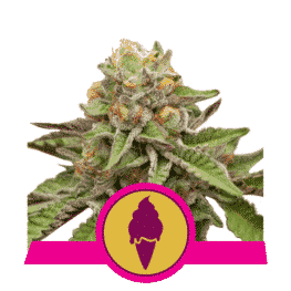 Green Gelato Cannabis Seeds