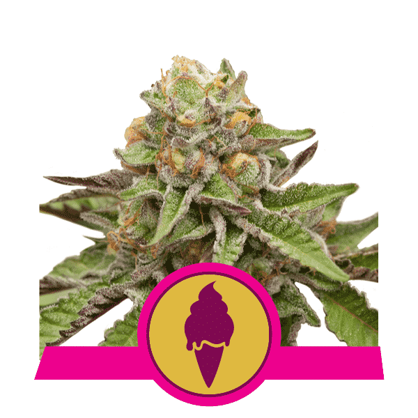 Green Gelato Cannabis Seeds
