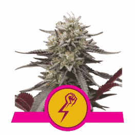 Green Crack Punch Cannabis Seeds